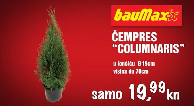 Baumax čempres Columnaris